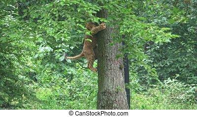 A cute young lion cub climbing on a tree. Lion cub climbing tree.