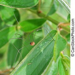 A Daddy Long Legs Spider