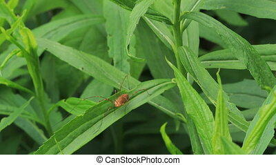Daddy Longlegs spider on a leaf - A Daddy Longlegs spider on...