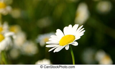 A daisy in the field