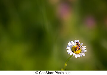 A daisy on the lawn lit by the sun rays with a honey bee