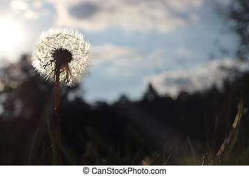 dandelion growing in green grass in spring