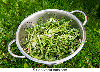 dandelion (Taraxacum officinale) for salad - a dandelion (...