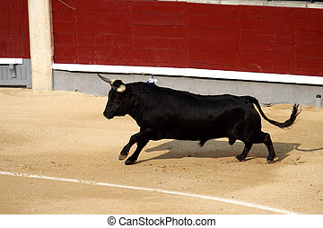 a dangerous fighting bull in a festival