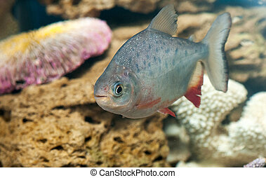 a dangerous piranha swimming in shallow water