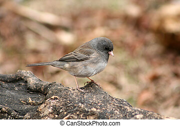 A Dark Eyed Junco perched on a fallen log in a forest in spring in Winnipeg, Manitoba, Canada