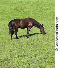 Dark brown horse in pasture land