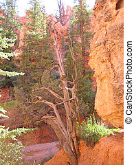 A dead tree in a canyon, Bryce National Park, United States...
