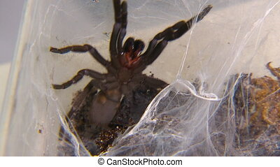 A deadly funnel web spider attacking tweezers - Full body...
