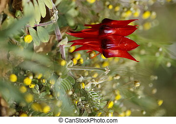 Sturt's Desert Pea - A deep red Sturt's Desert Pea blossom...