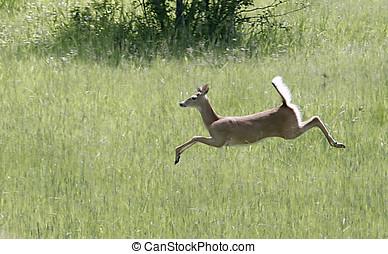 A deer running. - A deer runs and leaps through the grass.