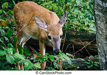 A deer seen along the Limberlost Trail, in Shenandoah National Park, Virginia.