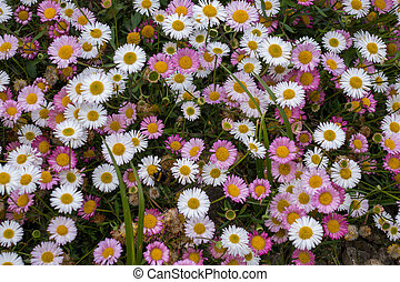 A dense mat of pink and white daisies
