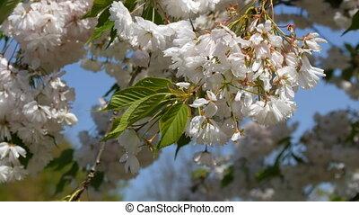 A densely flowering cherry tree in Keukenhof Park, Holland....
