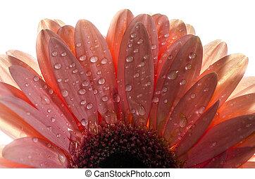 A detailed photo of a Gerbera flower. Barbeton Daisy Gerbera Flower