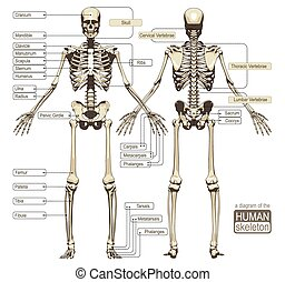 A diagram of the human skeleton with titled main parts of...