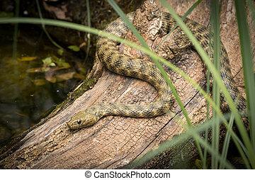 A dice snake resting on a piece of wood near a pond