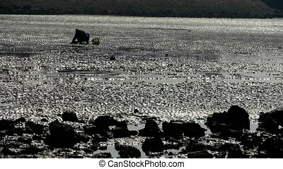 A dig clams fishermen on beach,ebb.