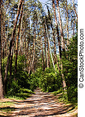 dirt path in a pine forest