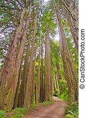 A Dirt Road through a Sequoia Grove