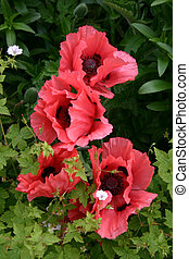 A display of Poppies (papaver) in an english country garden