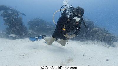 A diver and a sea cucumber - A shot of a diver observing a...