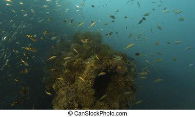 A diver near a coral reef - Establishing coral reefs that...
