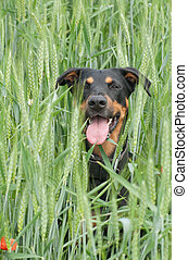dog sitting in the corn field