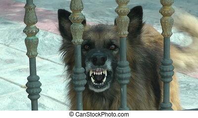 A Dog Barking behind a fenced yard.