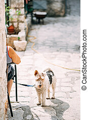 A dog breed wire-haired fox terrier on the asphalt on a leash with the owner for a walk on a sunny day.