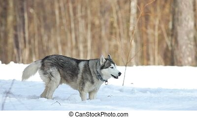 A dog in the winter forest tries to get out of the snow. Mid...