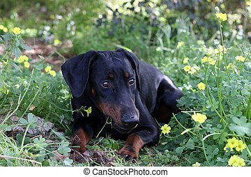 a dog lies in the field and eats grass