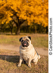 A dog of a pug breed sits in an autumn park on yellow leaves against a background of trees and autumn forest. Puppy looking at the camera