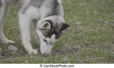 A dog of the Husky breed is sniffing something