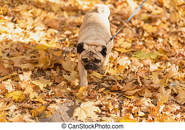 A dog of the pug breed walks in the autumn park along the yellow leaves against the background of trees and autumn forest.