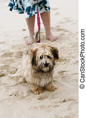 A dog on the beach with owner.