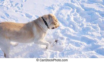 A dog plays with snow in a winter Park. Labrador Retriever Dog Breed Digs a deep snow hole