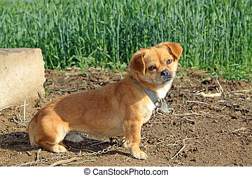 a dog standing by the wheat field