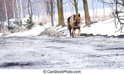 A dog walks along a gravel driveway and chain link fence in the country.