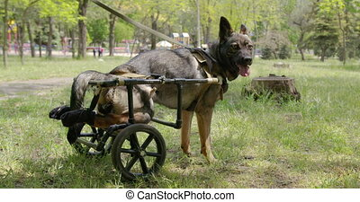 A dog who is in a wheelchair for animals. - A dog who is in ...