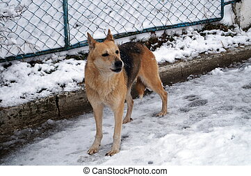 A dog with a brown and black hair standing in the snow