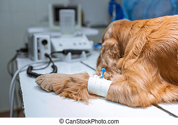 A dog with a catheter in its paw is lying on the operating table in a veterinary clinic. A Cocker Spaniel dog is awaiting surgery. A veterinarian is administering an anesthetized dog