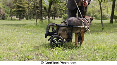 A dog with paralyzed hind legs in the wheelchair. - A dog ...