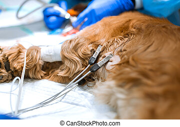A dog with pulse sensors and an ecg with a catheter in its paw is lying on the operating table in a veterinary clinic. The dog is awaiting surgery. A veterinarian is administering an anesthetized dog