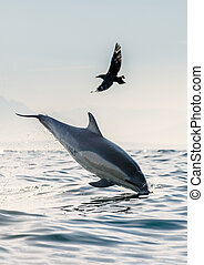 A dolphin and a bird. The dolphin jumps out of the water, a skua is flying by. The Long-beaked common dolphin. Scientific name: Delphinus capensis. False Bay. South Africa.