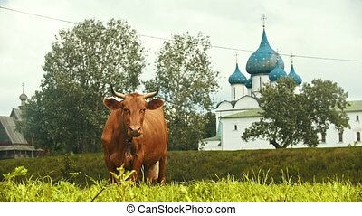 A domestic brown cow graze on the field on a background on...