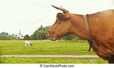 A domestic cow graze on the field in the village - chewing...