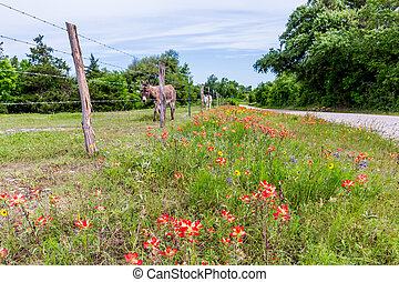 A Donkey in Texas Field of Wildflowers - A Donkey or Burrow ...