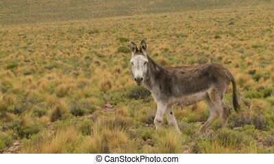 A close up shot of a donkey standing on a field with sparse and dry vegetation