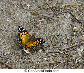 A dorsal view of a Red Admiral Butterfly (Vanessa Atalanta) in nature on the ground eating and relaxing with room for your text.